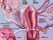 Vasculature of the Uterus