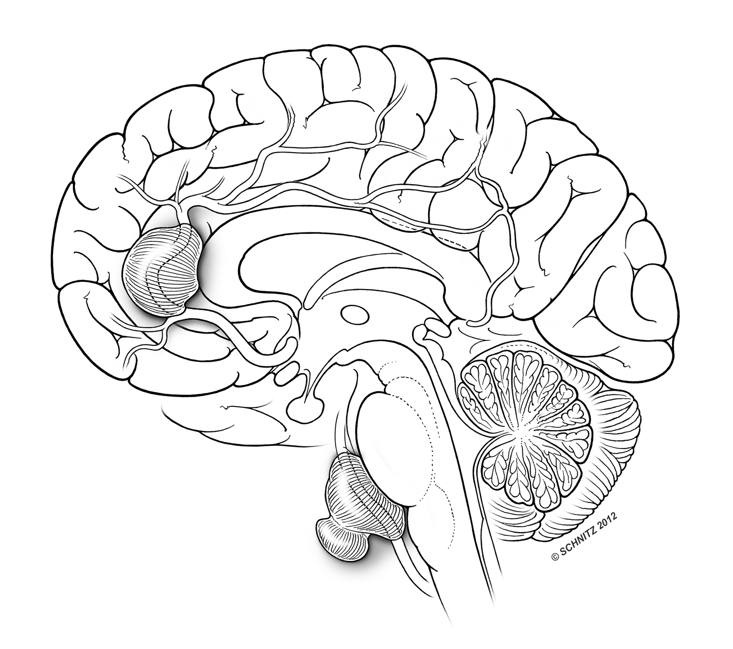 Schnitz Brain Illustration