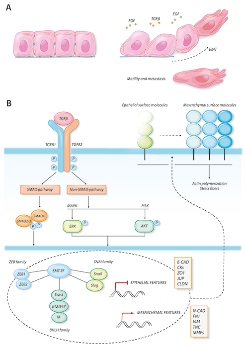 Figure showing Epithelial-mesenchymal transition by Antonia Conti